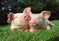 Ganadería sacrifica cerdos por brotes de peste porcina
