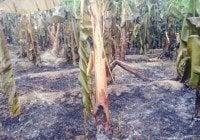 Incendio afecta finca guineos en Guatapanal