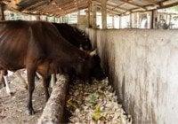 Ganaderos del Este sacrifican animales no mueran de sed