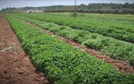 RD debe aprovechar recursos genéticos de leguminosas