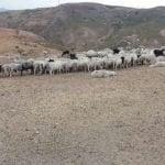 Denuncian ola de robo de ovejas en Monte Cristi