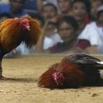 Congreso USA prohíbe pelea de gallos, incluyendo Puerto Rico; Pongan a su hijos a matarse…!!!