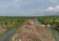 Sostienen herbicidas de consorcio azucarero en Barahona les dañan cultivos