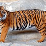 Coronavirus (Covid-19): Una tigresa del zoológico de El Bronx de Nueva York da positivo