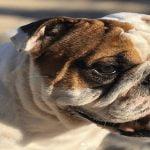 Recompensa por perro perdido: 300 mil pesos por recuperar a Kenzo, un bulldog inglés