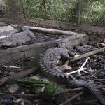Exlanzador José Rijo dice desde hace 20 años alimenta bien cocodrilos incautados en condiciones deplorables