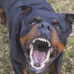 «Nadie escarmienta en cabeza ajena» Rottweiler mata bebé de 19 meses dejado con hermanos de 9 y 11 años